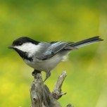 chickadee photo