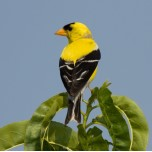 Goldfinch photo
