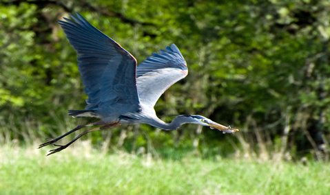great_blue_heron_